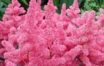 Астильба: самые красивые сорта и секреты их выращивания