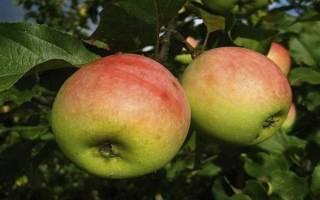 Всё о сорте яблони Синап — особенности, правила посадки и ухода, сбор урожая + фото