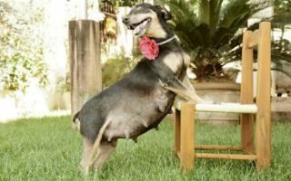 Беременная фотосессия для собак фото
