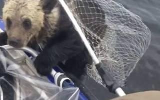 Медведица помогла медвежатам перейти глубокую воду на спине