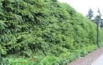 Растения для живой изгороди: вечнозеленые, вьющиеся, лиственные