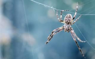 Сотни ядовитых пауков родились в Австралии видео