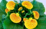 Кальцеолярия: выращивание из семян, правильный уход, популярные виды