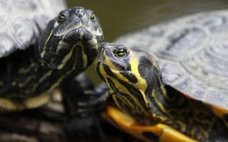 Черепахи могут сами выбирать пол
