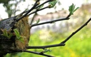 Как сохранить яблони, если повреждена кора, прививка коневой поросли