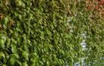 О размножении девичьего винограда: из семян и черенками (особенности, видео)