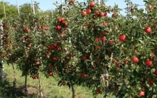 Выращивание карликовых и суперкарликовых плодовых деревьев, посадка, прививка, правильный уход