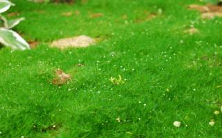 Мшанка: декоративные виды с фото, выращивание, уход, размножение, зимовка