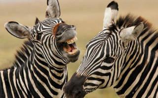 В Японии коровы стали похожи на зебр