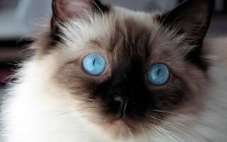 Кот с глазами голубого и коричневого цвета