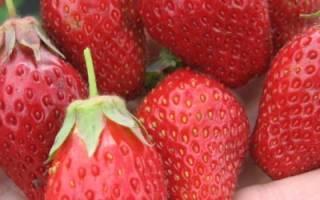 Как вырастить богатый урожай клубники: правильный уход, размножение усами, удобрения, выращивание рассады