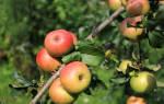 Сорт яблони Уэлси: описание, посадка и уход + фото
