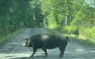 Свиней ловили всем городом в штате Вермонт