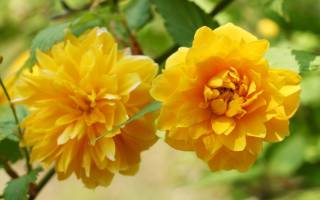 Керия: декоративные формы и сорта с фото, выращивание, размножение, уход