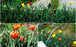 Можно ли сажать тюльпаны в одной грядке с овощами, посадка тюльпанов рядом с чесноком