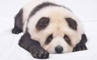В Китае собак окрашивают по цвет панд