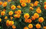 Бархатцы — выращивание из семян: когда сажать и каким способом, популярные сорта цветка