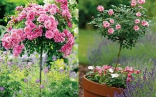 Как посадить штамбовую розу: особенности выбора саженцев и правила посадки