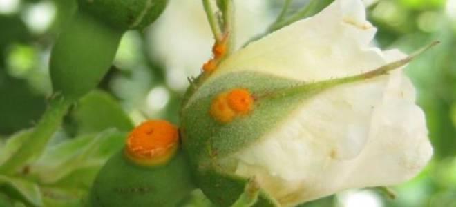 Ржавчина на розах: чем обрабатывать цветок