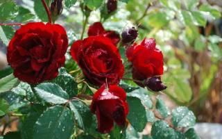 Уход за розами летом — полив, подкормка, обработка и прочие нюансы