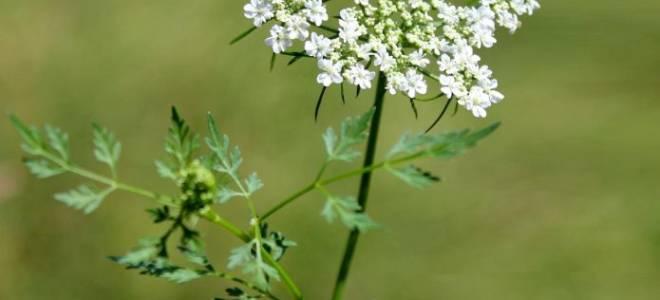 Петрушка: выращивание и уход в открытом грунте и в домашних условиях, посадка семенами, фото