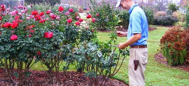 Розы и уход за ними: обрезка, удобрение, полив, зимнее укрытие