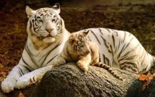 Бенгальский тигр альбинос жил у испанского наркоторговца