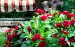 Посадка георгинов весной (клубнями, в открытый грунт и др) +видео