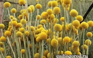 Краспедия: выращивание из семян, пересадка в грунт, уход, использование