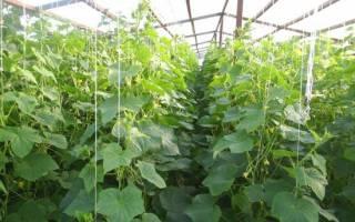 Выращивание огурцов в теплице зимой – какие сорта выбрать и как вырастить