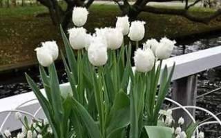 Клумба из тюльпанов своими руками на даче + фото