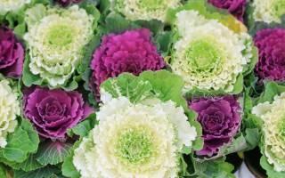 Декоративная капуста: сорта, выращивание рассады, уход