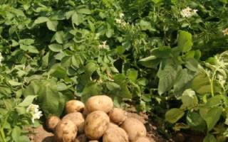 Картофель сорта Гранада: описание, преимущества и недостатки, посадка и уход + фото и отзывы