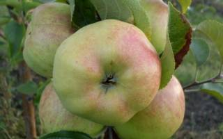 Характеристики и описание сорта яблони Богатырь, посадка и уход, сроки уборки яблок на хранение + фото дерева и плодов