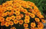 Урсиния: виды с фото, выращивание из семян, уход