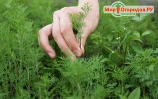 Как вырастить укроп, как правильно сеять и ухаживать
