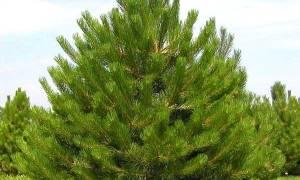 Живая изгородь из сосны обыкновенной: особенности посадки и формирования