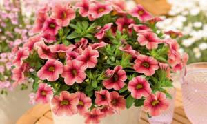 Калибрахоа — выращивание в домашних условиях из семян или черенкованием, сорта и уход за ними