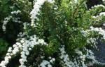 Как размножить спирею черенкованием и другими способами — особенности размножения весной и летом