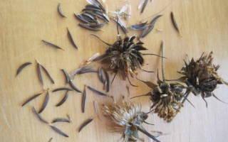 Космея — выращивание из семян: когда сажать и каким способом лучше, популярные сорта