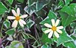 Крестовник: разнообразие видов с фото, способы размножения, уход