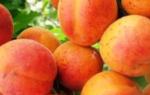 Прививка абрикоса: когда лучше делать, варианты прививки на абрикос, сливу + видео